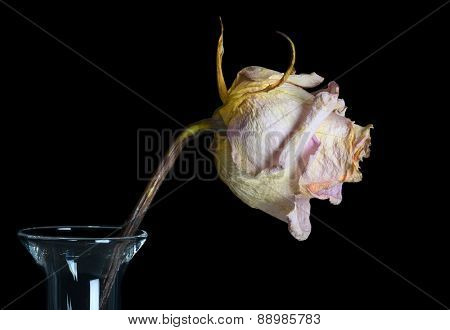 Beautiful Single Faded Rose in a Vase Isolated On Black