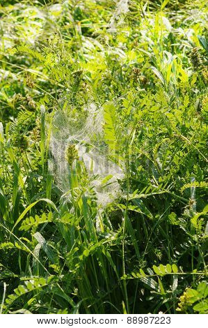 Cobweb In A Grass