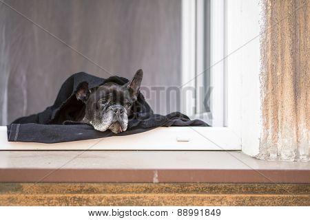 French Bulldog lying on the windowsill.