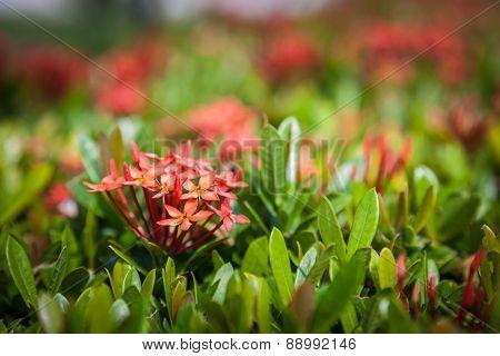 Closeup Red Ixora