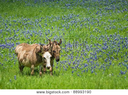 Two Donkeys Grazing On Texas Bluebonnet Pasture