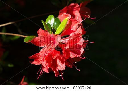 Red azalea flowers with rain drops under the sun.