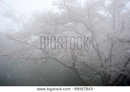 cherry blossom tree with fog