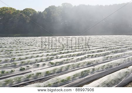 vegetable farmland with fog