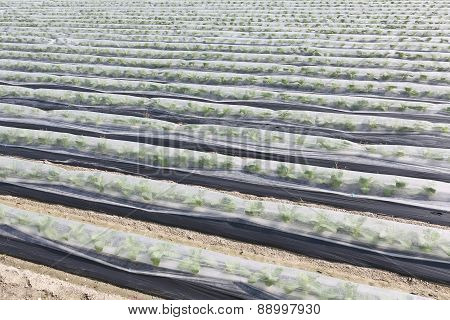 vegetable farmland