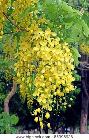 Golden shower tree, beautiful yellow flower name is Ratchaphruek