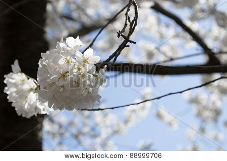 Cherry Blossoms Bunch