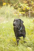pic of seeing eye dog  - Beautiful Black Labrador Retriever standing in a field under a tree - JPG