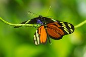 picture of postman  - Isabellea longwing and Postman butterflies - JPG