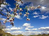 picture of xeriscape  - Anacacho orchid tree or Bauhinia purpurea in Arizona desert near Salome - JPG