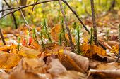 picture of floor covering  - Forest floor closeup tiny new growth break through the deep golden leaf ground cover - JPG