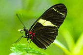 stock photo of postman  - Postman butterfly resting on leaves macro shot - JPG
