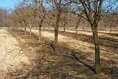 pic of orchard  - Orchard with plum trees on springtime after the pruning activity - JPG