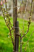 foto of bud  - Closeup of a young pear tree with buds and leaves in springtime