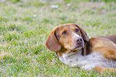 stock photo of sad dog  - Sad old dog with orange reddish fur lying in the grass - JPG