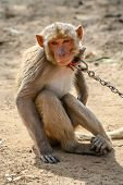 picture of animal cruelty  - Small monkey chained to the pole in Rajasthan in India - JPG