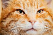 stock photo of yellow tabby  - Close Up Head - JPG