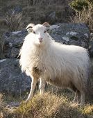 stock photo of sheep  - me and my friend was hiking in Steinsfjellet when we had to pass a herd of sheeps - JPG