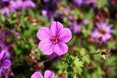 pic of geranium  - Geranium sanguineum - JPG