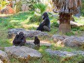 stock photo of gorilla  - Family of gorilla monkeys in natural environment - JPG