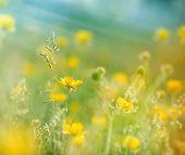 stock photo of buttercup  - Meadow flowers in grass  - JPG