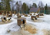 foto of sled-dog  - Dogs in sled dogs farm - JPG
