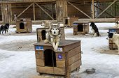 image of sled-dog  - Dog lying on the roof of his kennel - JPG