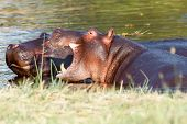 foto of hippopotamus  - Two young male hippopotamus Hippopotamus amphibius rehearse fray and figting with open mouth and showing tusk - JPG
