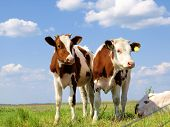 picture of calves  - Calves on the field - JPG