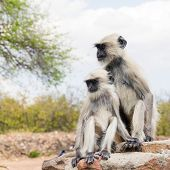 stock photo of ape  - ape family sitting on a stone in india - JPG