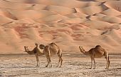 stock photo of oman  - Camels in the Rub al Khali or Empty Quarter - JPG
