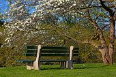 stock photo of dogwood  - White flower of dogwood tree and a bench nearby - JPG