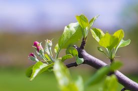 image of prunes  - The end of an apple tree branch blooming after being pruned in the spring - JPG