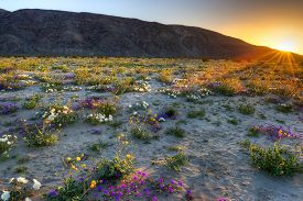 stock photo of sand lilies  - Blooming Desert near Borrego Springs catching day - JPG
