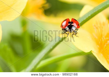 Ladybug on Grass Over Green Bachground