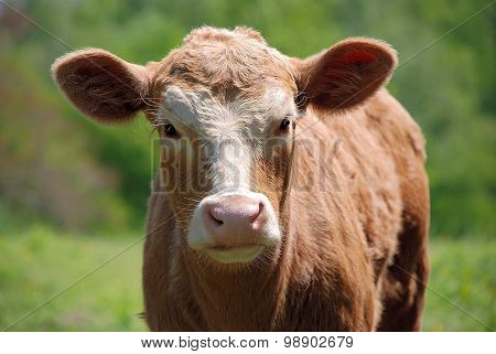 Cute brown and white calf up close in the pasture