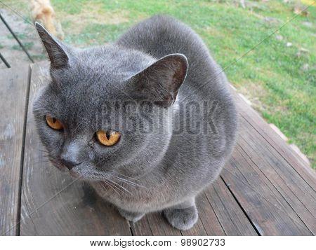 British Blue cat