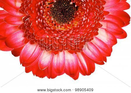 natural red gerbera flower isolated over pure white background