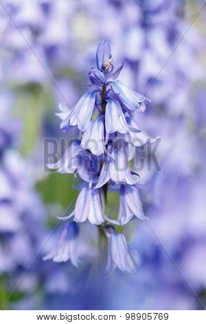 Bluebells Closeup
