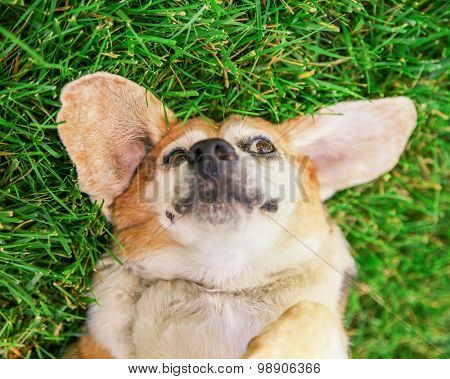 a cute senior beagle in a park or backyard on fresh green lawn