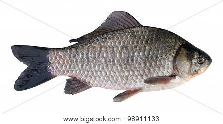 Prussian Carp (carassius Gibelio) On A White Background