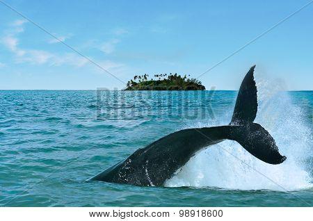 The tail of a Humpback Whale (Megaptera novaeangliae) rise above the water against a motu (small island) in Rarotonga Cook Islands