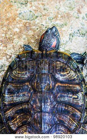 Close up red eared slider turtle in Pond