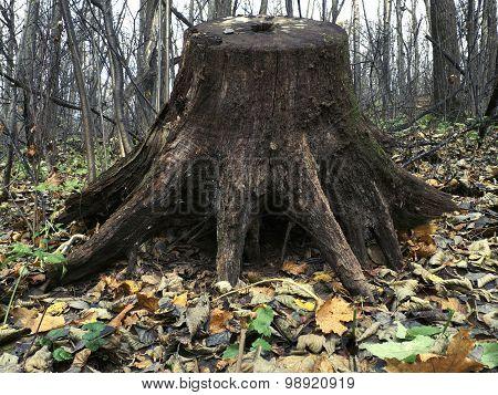 Huge Old Stump