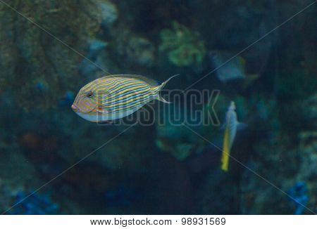 Clown tang fish