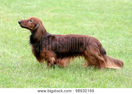 The Portrait Of Dachshund Standard Long-haired Red