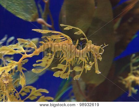 The leafy seadragon, Phycodurus eques