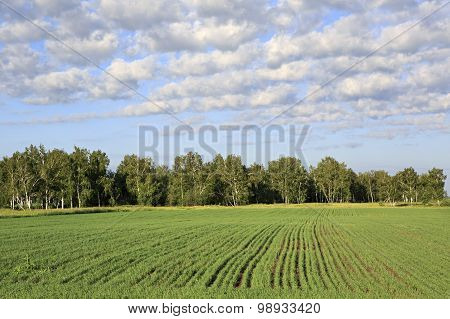 Green field with seedlings of cereals.