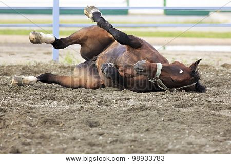 Young bay horse lying in sand.