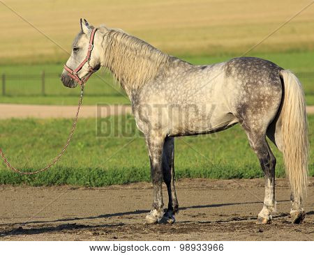 Beautiful Meren gray suit breed Orlov Trotter.